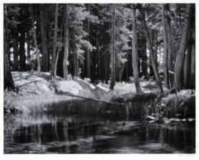 Lodgepole Pines, Lyell Fork of the Merced River, Yosemite National Park, California