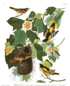 Baltimore Oriole from the portfolio Birds of America