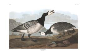Barnacle Goose from the portfolio Birds of America