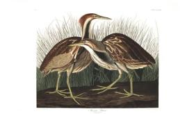 American Bittern from the portfolio Birds of America