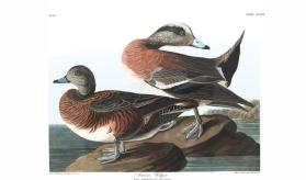 American Widgeon from the portfolio Birds of America