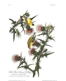 American Goldfinch from the portfolio Birds of America