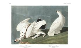 American Ptarmigan and White-tailed Grous from the portfolio Birds of America