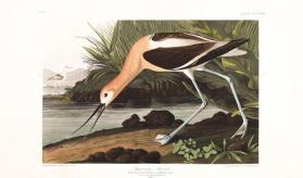 American Avocet from the portfolio Birds of America