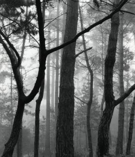 Pines in Fog, Monterey